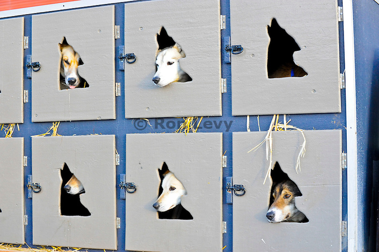 Iditarod sled dogs wait patiently in their mobile hotel before start of Iditarod 2011, Anchorage, Alaska