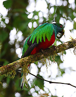 Male crested quetzal with worm