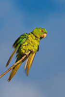 566700080 a wild green parakeet aratinga holochlora perched in a tree in laredo webb county texas united states
