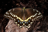 390450006a a captive palmedes swallowtail butterfly pterourus palmedes perches on a small dead log in a butterfly garden in southern california