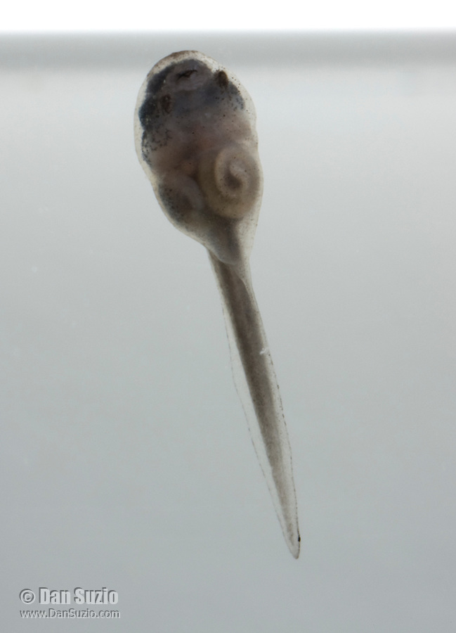 Tadpole of American bullfrog, Rana catesbeiana.  A week after hatching, the tadpole is about 8mm long and has developed the familiar head-and-tail shape. The skin is semi-transparent, and internal organs are visible.
