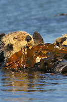 "Sea Otter (Enhydra lutris) pulling kelp over itself--""tying up"" in kelp keeps resting sea otter from drifting with the tide and currents.."