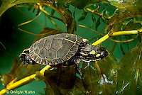 1R13-105z  Painted Turtle - young in pond swimming underwater  - Chrysemys picta