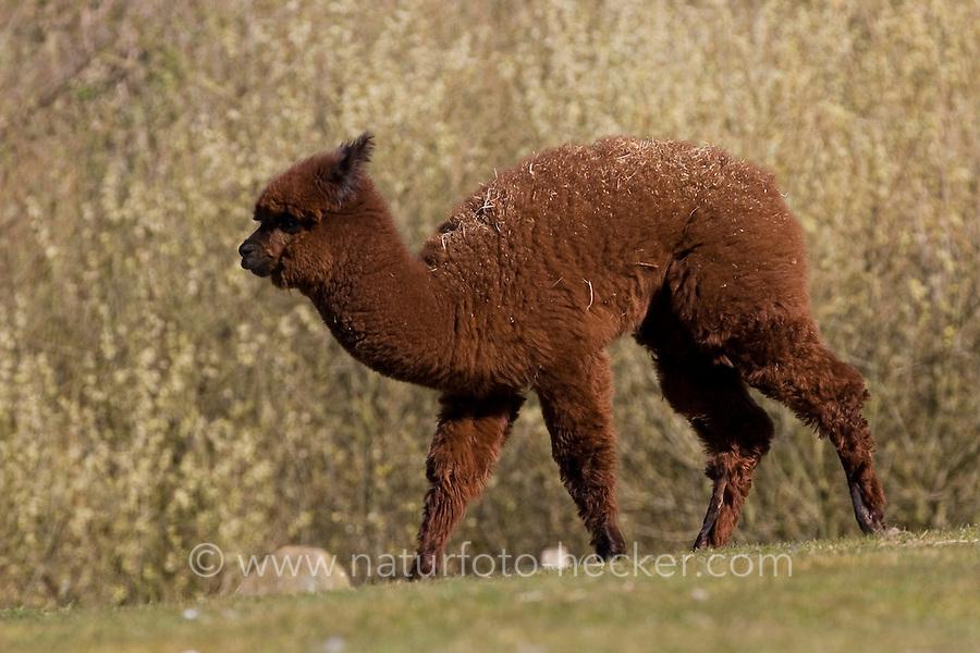 Alpaka, Lama pacos, alpaca