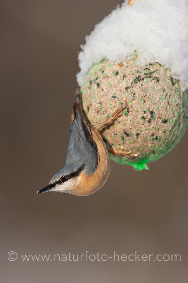 Kleiber, an der Vogelfütterung, Fütterung im Winter bei Schnee, am Meisenknödel, Fettfutter, Winterfütterung, Spechtmeise, Sitta europaea, Eurasian nuthatch