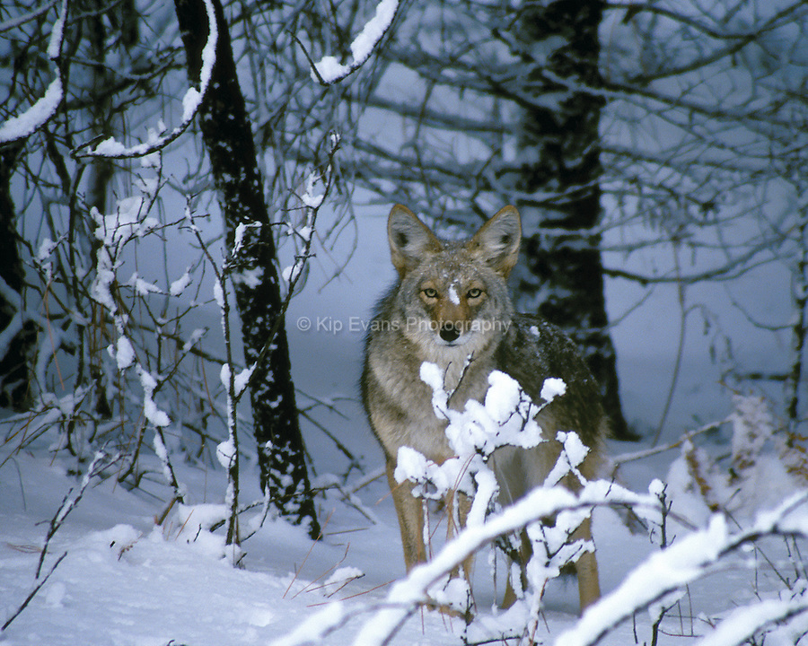 Coyote, Yosemite National Park