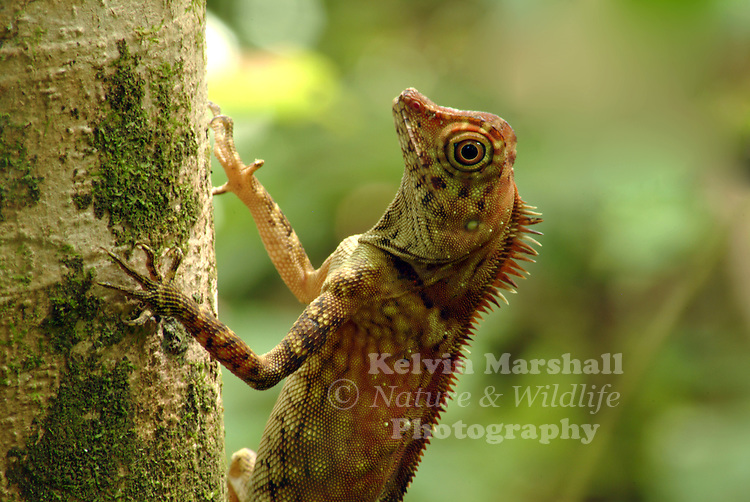 Borneo Forest Dragon  (Gonocephalus borneensis) <br /> Agamids, are lizards of the family Agamidae, include more than 300 species in Africa, Asia, Australia, and a few in Southern Europe. Many species are commonly called dragons or dragon lizards.