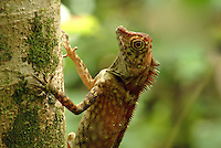Borneo Forest Dragon  (Gonocephalus borneensis) <br />