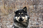 DOG, FAMILY PET, KUGLUKTUK, NUNAVUT, CANADA