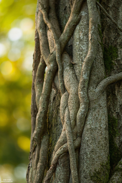A Mature Vine Growing on a Tree at Blean Wood