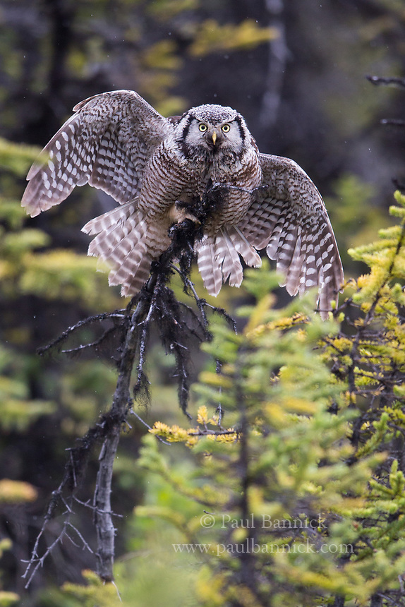 A male Northern Hawk Owl presents a distraction display to lure predators from his young.  After several months of looking after young, female owls often leave the majority of feeding and care of the young to the males a few weeks after they leave the nest.