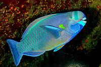spectacled parrotfish, terminal phase, endemic, Chlorurus perspicillatus, Midway Atoll, Papahanaumokuakea Marine National Monument, Northwestern Hawaiian Islands, Hawaii, USA, Pacific Ocean Endemic to Hawaii