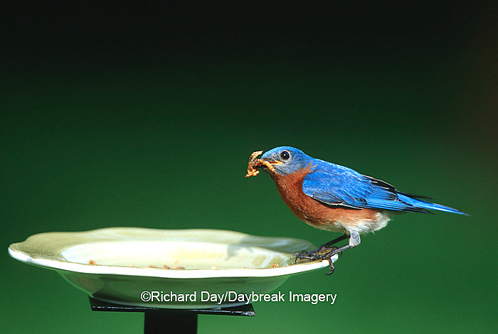 01377-14411 Eastern Bluebird (Sialia sialis) male eating mealworms at feeder Marion Co.  IL