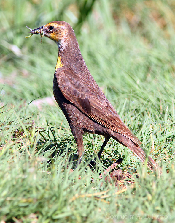 Female yellow-headed blackbird with dragon flies. Females were busy catching insects while males sat around and sang.