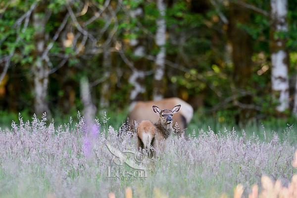 Roosevelt Elk (Cervus canadensis roosevelti) calf, sometimes called Olympic Elk, standing in meadow.  Olympic National Park, WA.  Summer.