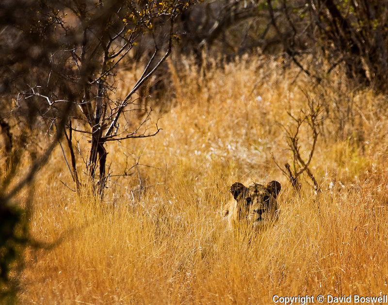 A male lion watches over his pride from the grass in Tarangire National Park, East Africa