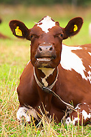 Cow Brown and white Ruminating Smaland region. Sweden, Europe.
