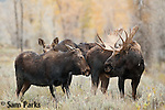 Bull moose in rut with cows. Grand Teton National Park, Wyoming.