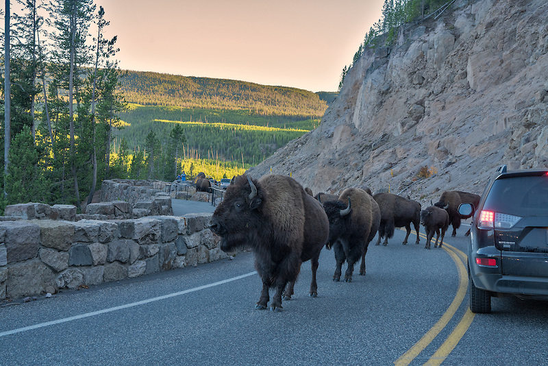 Buffalo blocking road. Yellowstone National Park, Wyoming