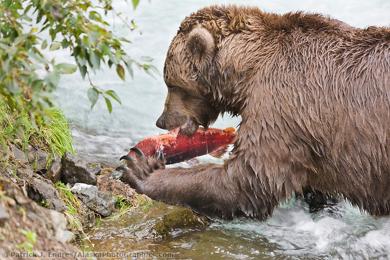 Brown bear feeds on red salmon, Katmai National Park, Alaska.