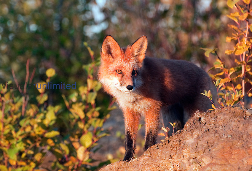 Red Fox (Vulpes vulpes), Alaska, USA.