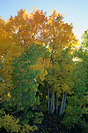 Aspen trees starting to turn colors in fall, Virginia Creek, Eastern Sierra Mono County, CALIFORNIA
