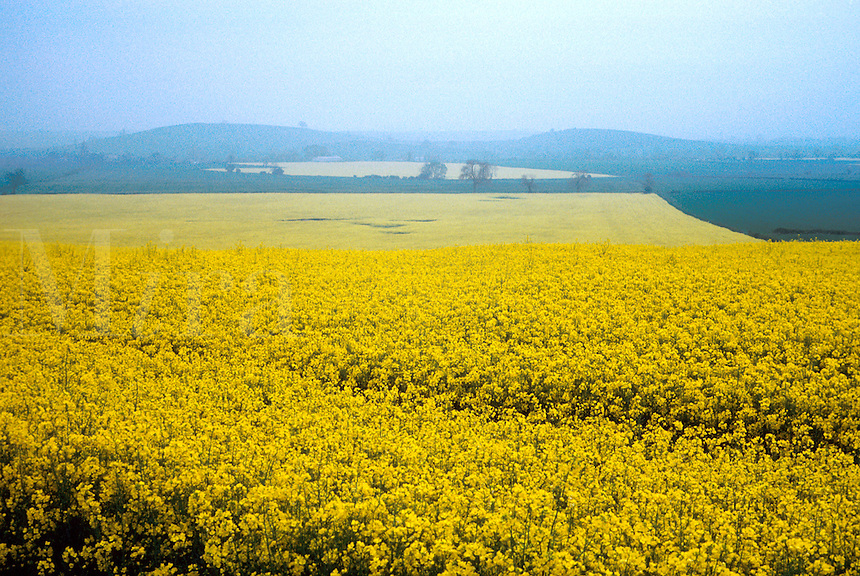 Aerial view as fog envelops a field of yellow rape seed in the English countryside. agriculture, agricultural landscape, crops, contrasts, flowers, flowering plants. England Great Britain Cotswold Hills.