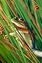Green and Golden Bell Frog (Litoria aurea) on reeds at night. Sydney NSW. Threatened species