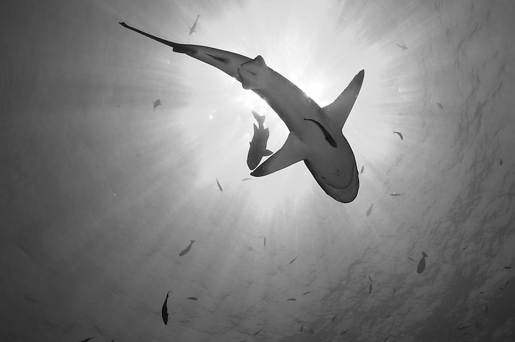 Gray reef shark ( Carcharhinus amblyrhynchos ), underside silhouette with sunburst, Fathers reefs, Kimbe Bay