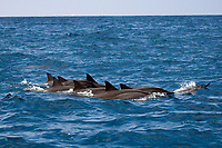 pod of spinner dolphins, Stenella longirostris, surfacing, Kailua Kona, Big Island, Hawaii, Pacific Ocean