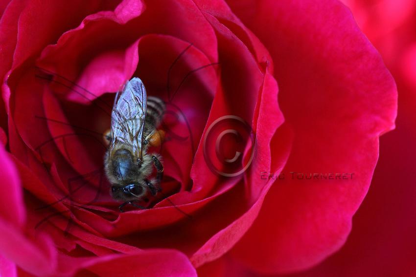 L'abeille et la rose…les abeilles butinent rarement sur les roses qui ont peu de nectar mais qui quelquefois, elles plongent au plus profond de cette fleur pour récolter son pollen.///The bee and the rose… bees rarely gather honey from roses which have very little nectar but sometimes they plunge deep into the flower to get its pollen