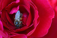 L'abeille et la rose…les abeilles butinent rarement sur les roses qui ont peu de nectar mais qui quelquefois, elles plongent au plus profond de cette fleur pour récolter son pollen.///The bee and the rose… bees rarely gather honey from roses which have very little nectar but sometimes they plunge deep into the flower to get its pollen