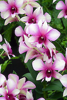 Dendrobium phalaenopsis hybrid orchids with white and red bicolored flowers | Den. Polar Fire