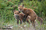 Red fox kits playing at den. Snowy Range Mountains, Wyoming.