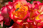 Hybrid Rose July 4th with Bee, Western Honey Bee, Southern California