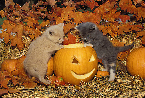 Two kittens exploring a jack o lantern carved for Halloween, Fall
