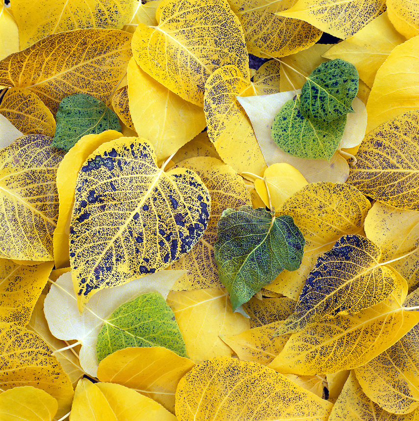 GOLDEN ASPEN LEAVES make a beautiful pattern on the forest floor - SIERRA NEVADA MOUNTAINS, CALIFORNIA