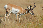 A pronghorn buck.