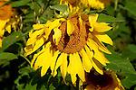 SUNFLOWER,  Helianthus Annuus