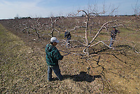 Workers prune apple trees before budding.<br />