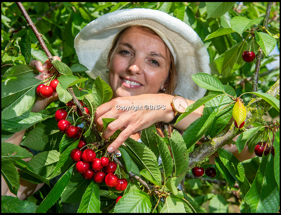 BNPS.CO.UK (01202 558833)<br /> Pic: PhilYeomans/BNPS<br /> <br /> Laurie Griffin picking the bumper crop of British cherries.<br /> <br /> As easy as picking cherries…<br /> <br /> An outdoor cherry farm is celebrating a bumper crop in this year's heatwave - making up for the previous year when the delicate fruit was wiped out by bad weather.<br /> <br /> Businesswomen Hayley Davis and Laurie Griffin harvest six different varieties from 5,000 trees on farmer John Hawkins farm in Dorset, and the hot summer has provided perfect conditions to ripen a record harvest.<br /> <br /> Falconer Mike Coleman has even been brought in to provide aerial protection to the tasty crop as the delicious berries are as popular with birds as with the Great British public.