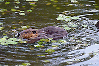 Beaver swimming in water lake pond animal mammal, water lilies, semi-aquatic herbivore rodent, genus Castor canadensis, North American native