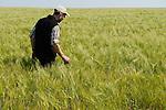 ROMANIA Banat, village Firiteaz, Bio Farmland, a farm run by swiss family / RUMAENIEN Banat, Firiteaz, BIO FARMLAND, betrieben von den Schweizer Einwanderern Familie Häni und Siegrist, Christian Häni im Braugerste Feld, auf den Feldern wird pflugloser Anbau nach dem System Von Manfred und Friedrich Wenz betrieben