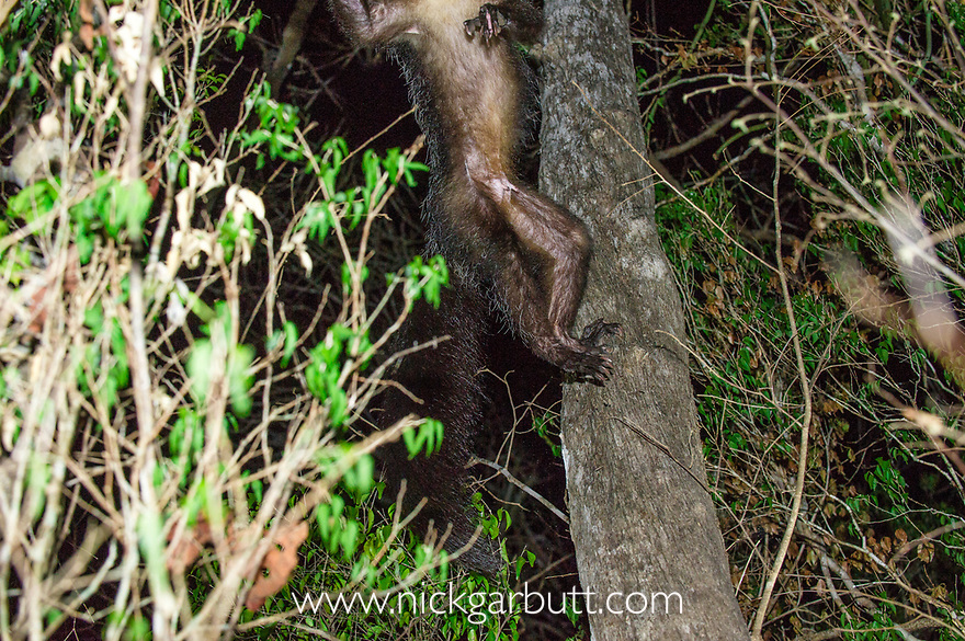 Female Aye-aye (Daubentonia madagascariensis) leaping in the middle canopy / understorey of dry deciduous forest at night. Forests near Andranotsimaty, Daraina, northern Madagascar. Endemic. Endangered.