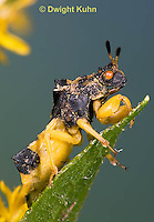 AM01-630z  Ambush Bug male, Phymata americana