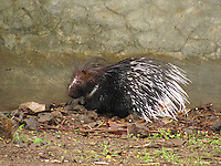 An Indian porcupine sitting quietly beside a wall.