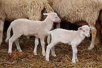Allevamento. Breeding.Pecore.Sheep....