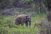 A wild elephant near Wasgamuwa National Park in central Sri Lanka, famed for its wild Asian elephant populations.