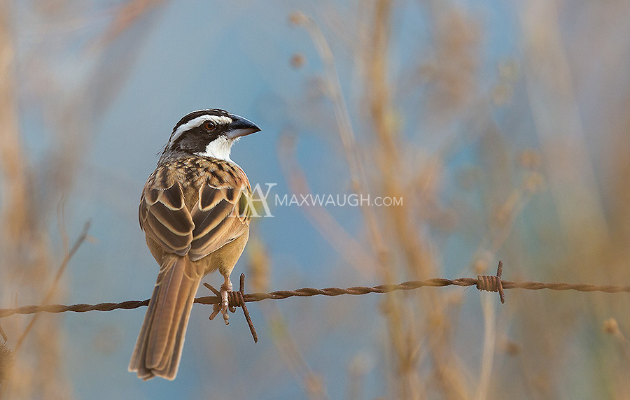 This Stripe-headed sparrow was perched near the road on the Pacific coast.