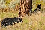 Black Bear Cubs, Elk Creek, Yellowstone National Park, Wyoming